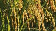 Chuyển đổi sản xuất phù hợp để góp phần đảm bảo an ninh lương thực