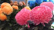 Video: Hoa cúc Mẫu Đơn 'siêu to' hút khách ở Hà Nội