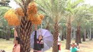 Video: Kẹt đường vì vườn chà là trĩu quả