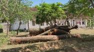Góc nhìn trưa nay | Sau sự cố cây xanh đổ đè học sinh, nhiều trường chặt cây xanh trong sân