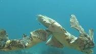 Video: Cuộc chiến nảy lửa giữa 2 con cá mập Wobbegong dưới đáy biển