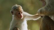 Video: Khám phá loài khỉ đuôi dài ở Sri lanka