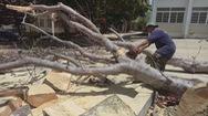 Góc nhìn trưa nay | Cần có cách làm đúng khi chặt hạ cây xanh trong trường học
