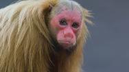 Video: Khám phá loài khỉ mặt đỏ ở lưu vực sông Amazon