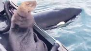Video: Bị đàn cá voi truy đuổi, rái cá phóng lên thuyền thoát thân