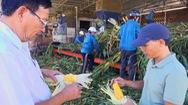 Chuyển động thị trường | Liên kết công nghệ để trồng bắp sinh khối