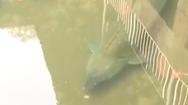 Video: Cá tầm khủng dưới cống nước của công trình bỏ hoang