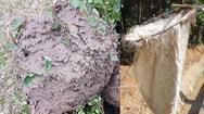 Video: Săn trứng kiến ở rừng sâu Tuyên Quang