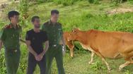 Video: Bắt đối tượng chuyên ăn trộm bò của nông dân nghèo