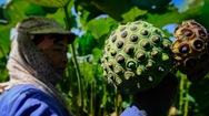 Video: Khám phá vựa sen lớn nhất miền Bắc vào mùa thu hoạch