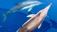 Video: Cá heo bơi theo thuyền của đặc vụ bảo vệ bờ biển để đùa giỡn