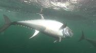 Video: Gay cấn màn săn bắt cá ngừ vây xanh trị giá 1 triệu đô la
