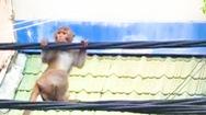 Video: Xuất hiện khỉ đuôi dài đu trên dây điện ở quận Bình Thạnh, TP.HCM
