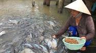 Video: Đàn cá tra tự đến nhà dân, chơi với người như thú cưng