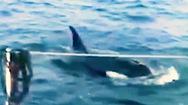 Video: 3 con cá voi sát thủ 'tấn công' tàu du lịch