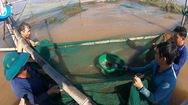 Video: Xem người dân dỡ chà bắt cá trên sông Vàm Nao ở miền Tây