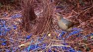 Video: Xem chim đinh viên xây tổ bằng vỏ nhựa tái chế