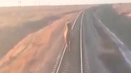 Video: Lạc đà đi lạc trên đường ray khiến đoàn xe về ga trễ 2 tiếng