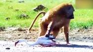 Video: Khoảnh khắc khỉ đầu chó lao lên, bắt chim hồng hạc đang bay