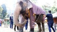 Video: Mặc áo cho voi vì trời quá lạnh