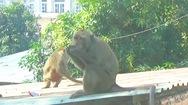 Video: Mới bắn thuốc mê được 2 con trong đàn khỉ 'đại náo' khu dân cư