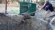 Video: Đội cứu hộ dùng cáng giải cứu con báo kẹt dưới giếng sâu