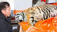 Video: Mua hổ nặng 250kg về giấu tại nhà, chưa kịp nấu cao thì bị công an phát hiện