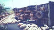 Video: Hàng trăm con heo tràn ra đường sau vụ lật xe tải ở Lâm Đồng