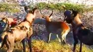 Video: Linh dương một mình 'đối đầu' với bầy linh cẩu