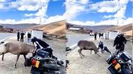 Video: Hươu hoang dã lao vào tấn công người lái xe môtô