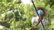 Góc nhìn trưa nay | Nhà vườn trồng quýt hồng Lai Vung tất bật chuẩn bị cho vụ Tết