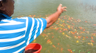 Video: Cá Koi tung tăng ở ao tôm cũ, nông dân kiếm tiền triệu