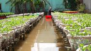 Video: Nông dân miền Tây không dám trồng vụ hoa Tết vì sợ dịch