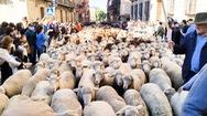 Video: Độc đáo 'lễ hội dê cừu' trên đường phố ở Tây Ban Nha