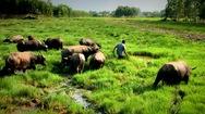 Video: Một nông dân ở Hậu Giang thu bình quân 200 triệu mỗi tháng từ nuôi trâu