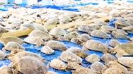Video: Giải cứu hơn 3.500 con rùa suýt chết rét ở Texas