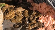 Video: Phát hiện cả ổ rắn đuôi chuông trong lúc sửa nhà