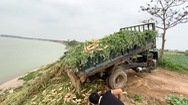 Video: Đứt ruột cảnh nông dân chở rau củ đi đổ vì bán không ai mua