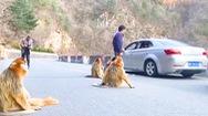 Video: Đàn khỉ tràn xuống đường tìm thức ăn, gây nên cảnh kẹt xe