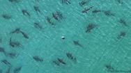 Video: Kỳ thú đàn cá mập hàng trăm con bơi nhảy gần bờ biển Florida