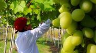 Góc nhìn trưa nay | Nông dân trồng giống nho ba màu trên đất phù sa Hồng Ngự