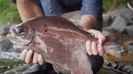 Video: Vượt thác và săn 'thủy quái' trong rừng sâu ở Guyana