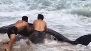 Video: Cá voi dạt vào bờ, người dân cố gắng đưa trở về biển nhưng bất thành