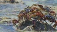 Video: Ly kỳ màn phi thân trốn kẻ thù của đàn cua biển chân siêu nhẹ