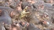 Video: Cá sấu bị tấn công điên cuồng khi lạc giữa đàn hà mã hung hãn