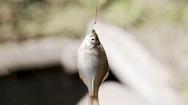 Độc đáo nghệ thuật câu cá 'siêu tí hon' của người Nhật