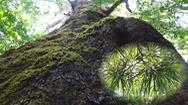 Góc nhìn trưa nay | Khám phá rừng thông hai lá dẹt nghìn năm có một không hai trên thế giới