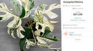 Video: Một cây trầu bà lá xẻ ở New Zealand được bán 440 triệu đồng