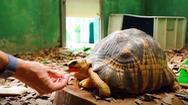 Video: Bầy rùa tuyệt đẹp cùng hàng trăm động vật quý hiếm đang bị 'mắc kẹt' vì COVID-19