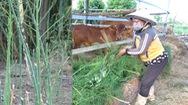 Video: 100ha măng tây Ninh Thuận ngắc ngoải vì COVID-19, nông dân lặng người cắt để nuôi bò